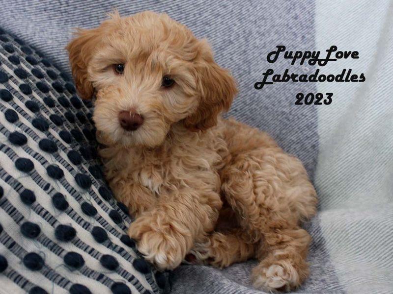 Alberta Labradoodle Breeder | Puppy Love Labradoodles