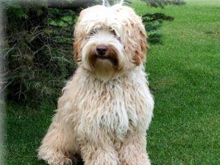 Australian Labradoodle Breeder Alberta | Puppy Love Labradoodles