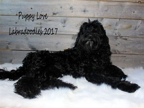 Jetta - Labradoodle Girl - Puppy Love Labradoodles