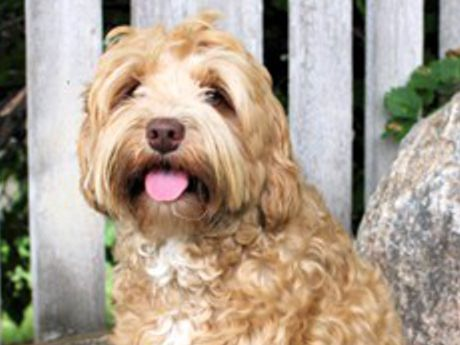 Available Labradoodle Puppies Puppy Love Labradoodles