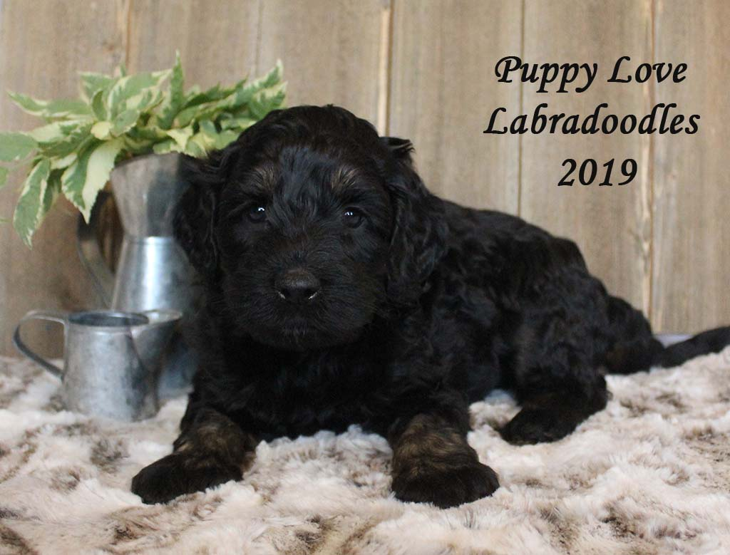 Remy & Rocky | Alberta Labradoodle Puppies For Sale | Puppy