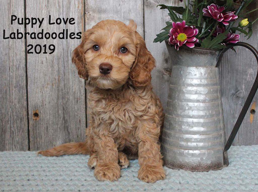 Tango & Rocky   Alberta Labradoodle Puppies For Sale   Puppy